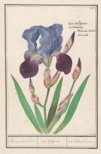 Iris A.B. de Boodt